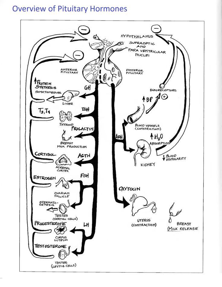 best 25  endocrine system ideas on pinterest