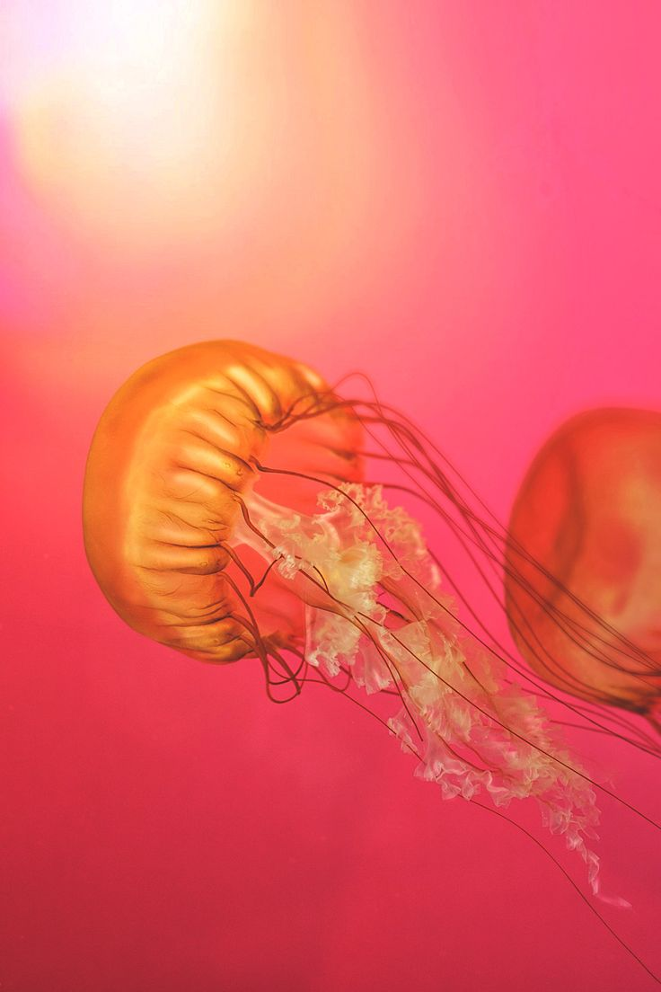 383 best images about Jellyfish on Pinterest