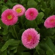 Bellis Pomponette Rose (9cm Pot)