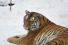 Siberian tiger (also called an Amur tiger) - Wikipedia, the free encyclopedia