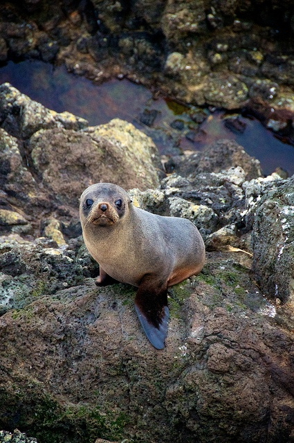 NZ fur seal pup, in his home near Dunedin