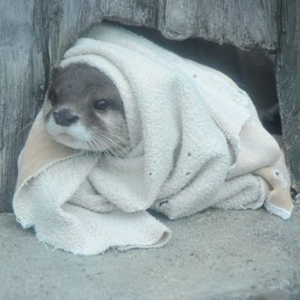 Baby otter wrapped in baby blanket http://ift.tt/2gGv9pm