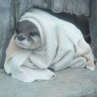 Baby otter wrapped in baby blanket http://ift.tt/2gGv9pm