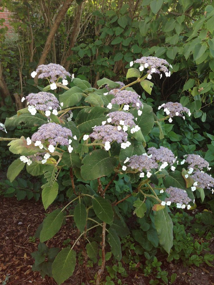 Hydrangea sargentiana blooming in July and August