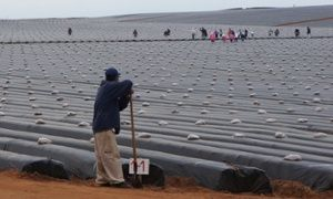 In this Sept. 25, 2014 photo, day laborers work in a strawberry field as they prepare the field for planting in the Valle de San Quintin, part of the municipality of Ensenada, south of Tijuana in Baja California, Mexico. On March 16, 2015, workers from about 60 farms in the area walked off their jobs to demand better pay and labor conditions. (AP Photo/Omar Millan)