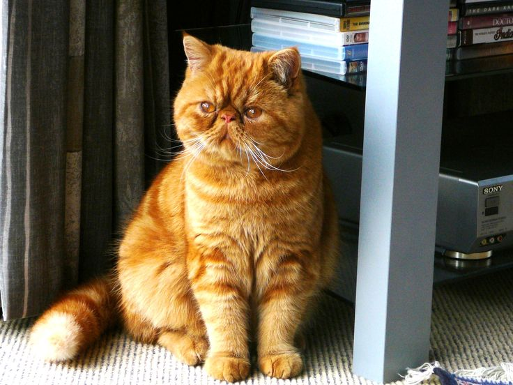 my cat charlie is a red tabby exotic shorthair persian a