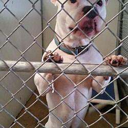 Lagrange, Indiana - Pit Bull Terrier. Meet Winston, a for adoption. https://www.adoptapet.com/pet/20635447-lagrange-indiana-pit-bull-terrier-mix #pitbull