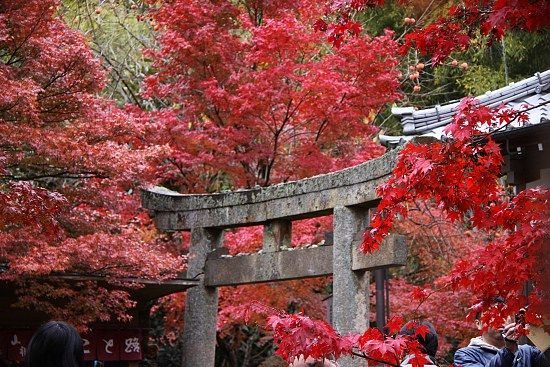 """""""Koyo"""" or fall-leaf viewing, is as popular in Japan as it is here. Some brilliant red leaves in Kyoto."""