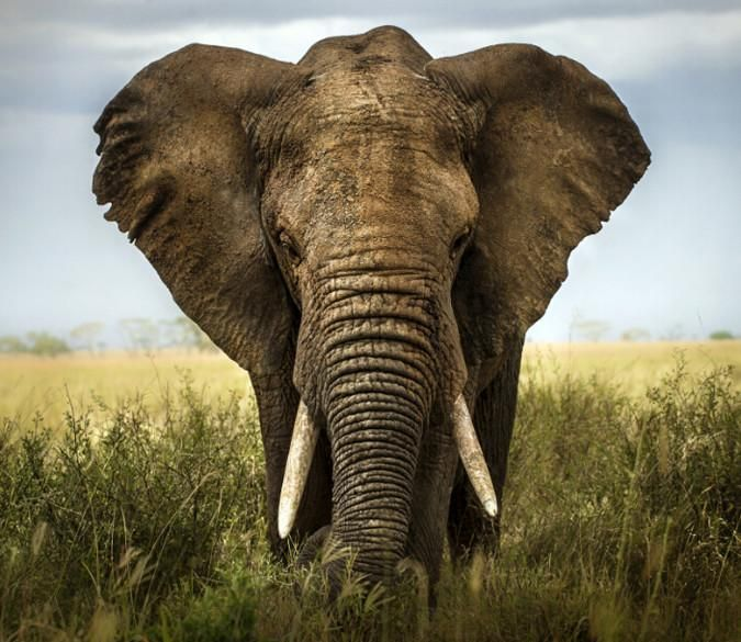 Customize Wall Mural African Elephant Elephant Save The Elephants