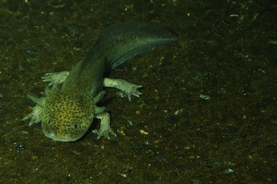"The axolotl ""water monster"", Ambystoma mexicanum, is a neotenic salamander, closely related to the Tiger Salamander. Larvae of this species fail to undergo metamorphosis, so the adults remain aquatic and gilled. It is also called ajolote (which is also a common name for different types of salamander).[1] The species originates from numerous lakes, such as Lake Xochimilco underlying Mexico City.[2] Axolotls are used extensively in scientific research due to their ability to regenerate limbs."