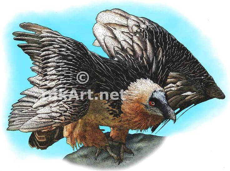 Full color illustration of a Bearded Vulture (Coragyps atratus)