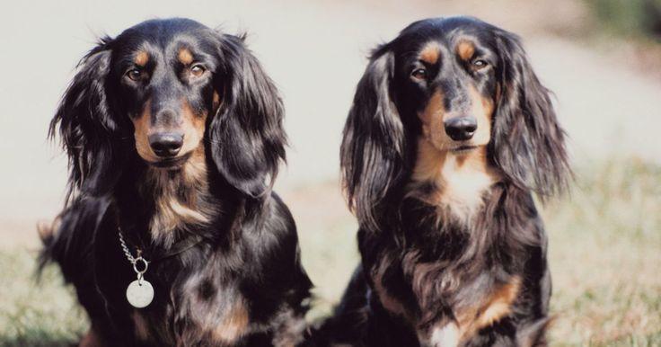 Como limpar as orelhas de um daschund miniatura de pelos longos. Dachshunds, ou salsichinhas, vêm em tamanhos padrão e miniatura. O peso dos miniatura vai até 5 kg. Os dachshunds miniatura vêm com diferentes variações de pelo, incluindo curto, longo e duro. Os mini dachshunds de pelo longo requerem mais cuuidados que os cães de pelo liso. Limpar as orelhas de um, envolve remover o pelo e aplicar solução de ...