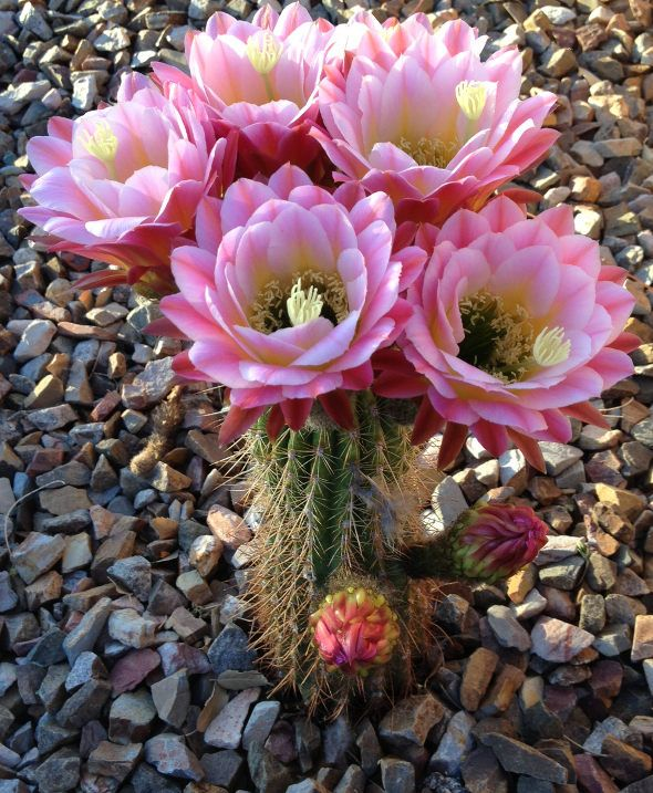 Flowers in Bloom Arizona | ... Morris Posted on Wed May 29, 2013 11:00 am . Tags: Arizona , cactus