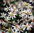 Aster divariticus: Masses of white, daisy-like flowers with brownish yellow centres in loose clusters from June to October. This white wood aster, originally from North America, was a favourite of Gertrude Jekyll's.