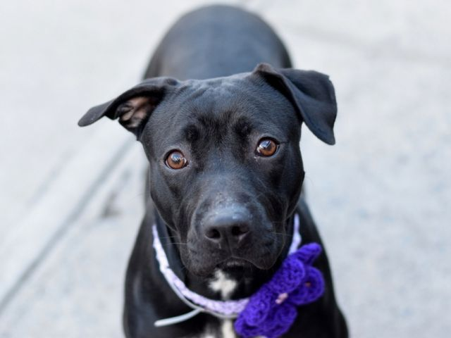 Brooklyn Center  My name is MIDNIGHTLY. My Animal ID # is A1100256. I am a female black and white am pit bull ter mix. The shelter thinks I am about 1 YEAR  I came in the shelter as a OWNER SUR on 12/22/2016 from NY 11221, owner surrender reason stated was NO TIME.