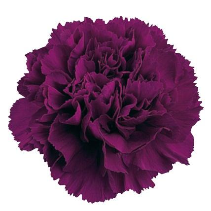 import purple carnations - Carnation Flower Colors