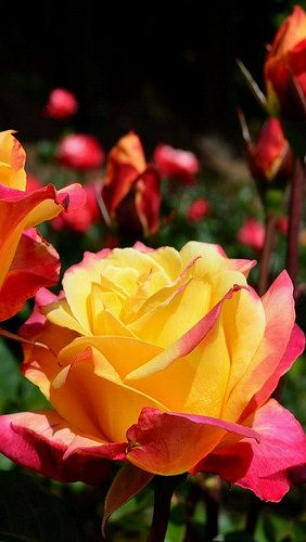 http://www.pinterest.com/angelaberti/ Pink and Yellow Roses
