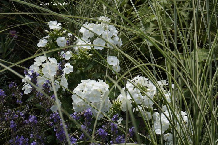 Wilcza Gora Garden - Phlox + Lavender