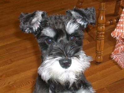 Miniature Schnauzer Puppy, OMG what a cute little black and silver puppy ✨