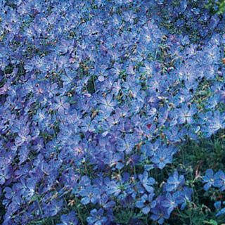 """Blue Fusion Everblooming Hardy GeraniumProduct Information: Light: Full sun to partial shade Height: 12-18"""" Bloom Time: Summer Size: Bareroot Zones: 4 to 8"""