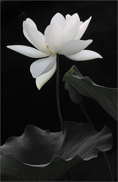 """Raise your words, not your voice. It is the rain that grows flowers, not thunder."" __Rumi [Credit - Lotus Flower]"