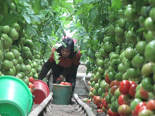 60 и более томатов с одного куста! И это реально!!! Собирать по 60 и более помидоров с каждого куста может каждый дачник! Секрет такого урожая прост. Один куст помидоров нужно выращивать на двух корнях - и место экономится, и урожай будет обильнее. Сорт при этом не имеет значения. Для этого в одну ёмкость сажайте семена близко друг от друга - на расстоянии не более 1 см. Когда рассада подрастёт и толщина стебля станет достаточно большой, острой бритвой снимите верхний слой стеблей двух…