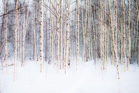 'Winter Birches' von Riku Nikkila bei artflakes.com als Poster oder Kunstdruck $16.63