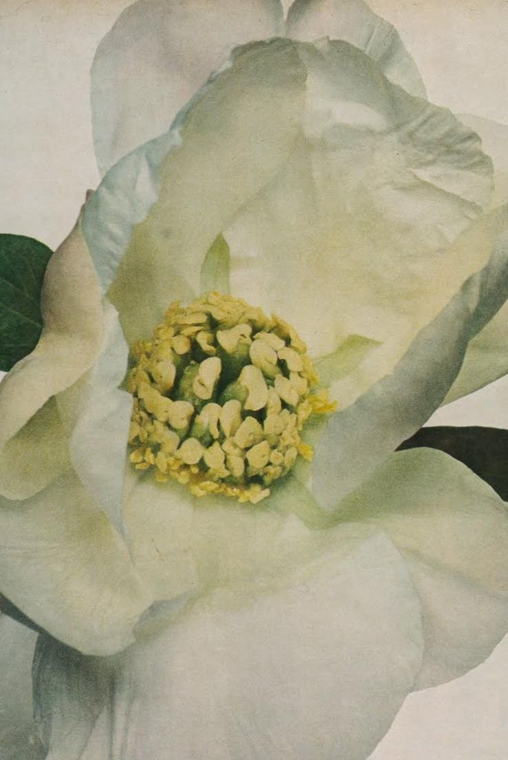Irving Penn Peonies, US Vogue December 1968