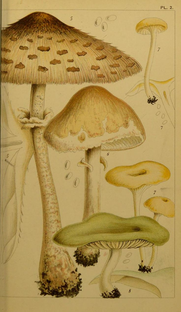 Mushrooms from M. C. Cooke\'s British Edible Fungi, London, 1891 ...