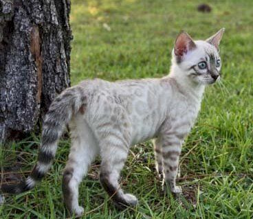 Bengal Cat Adoption Canada