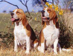 berner laufhund photo | Berner Niederlaufhund - Hundezüchter der Hunderasse Berner ...