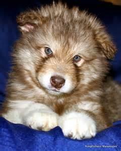 Red Alaskan malamute. Cute adorable puppy!