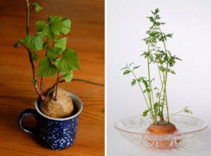 Nifty Food & Plants To Grow Indoors [incl sweet potato, onions, pineapple, tomatoes, avocado, herbs, garlic]
