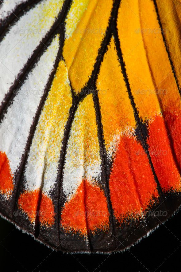 Butterfly wing texture, close up of detail of butterfly wing for