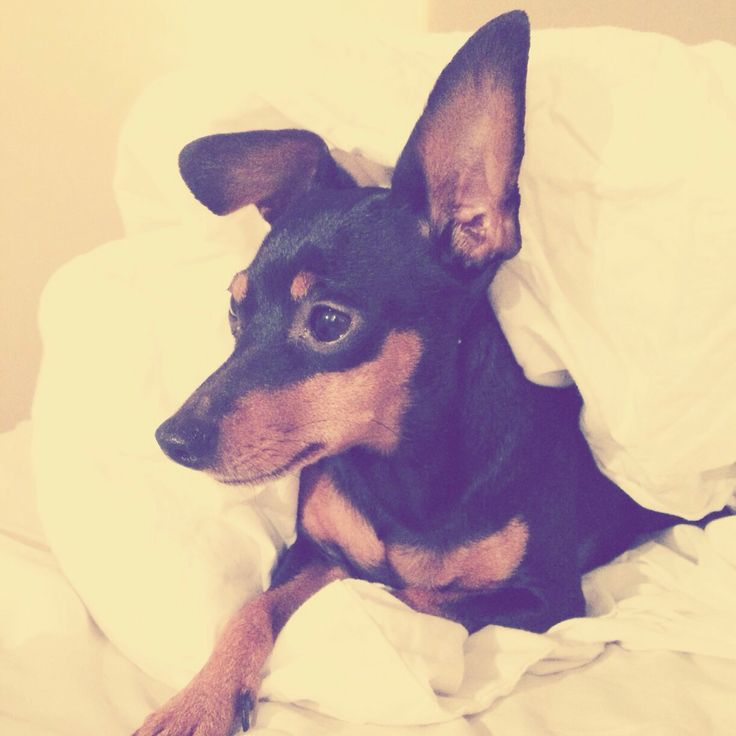 My little miniature pinscher Dumle