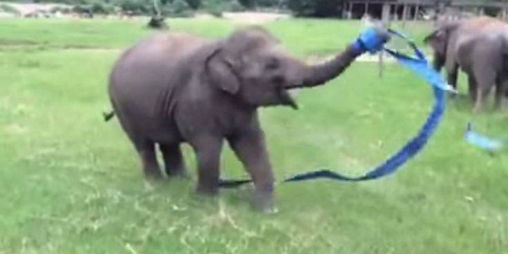 Rescued Baby Elephant Dances With A Ribbon, Reminds Us To Cut Loose In Life http://www.huffingtonpost.com/2014/09/02/baby-elephant-ribbon-dance_n_5752790.html