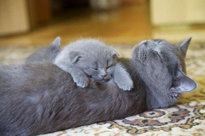 Trop Mignon! Chats bleus mais de quelle race ? ça, je ne saurais le dire, je pencherais pour des chartreux...