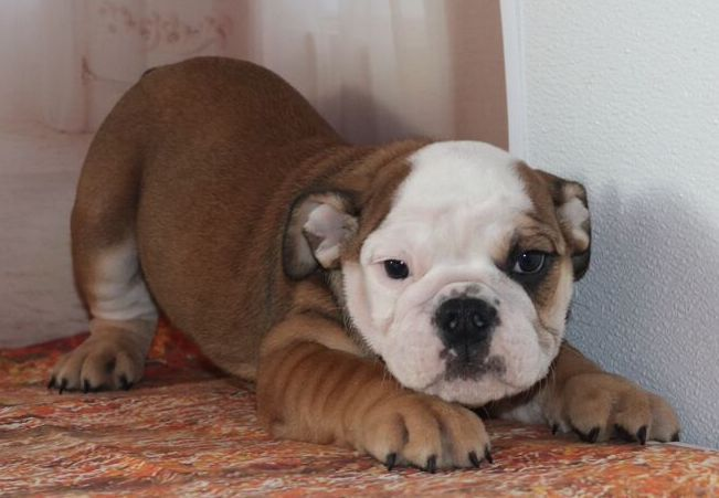 Sassy Is A Fawn Sable Female English Bulldog Puppy American Born And Raised With Champion Lines Being Sold With A One Year Pup Guarantee Shots And Lots ブルドッグ