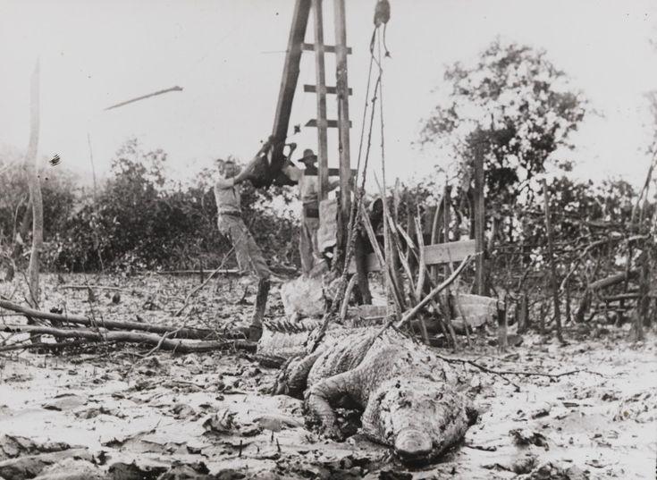 BA533/557: Crocodile caught in trap at Derby, 1910 https://encore.slwa.wa.gov.au/iii/encore/record/C__Rb1924086