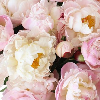 Blush Peonies are gorgeous full bloom flowers that embodies elegance and grace. Incredibly sweet, this peony features creamy ruffled petals that will range in tone from a kiss of pink to a more solid hue. A cherished wedding flower, these blush peonies will look lush and dreamy when blended with other soft autumn blooms like ranunculus, anemones, and hanging amaranthus for an autumn garden inspired look.