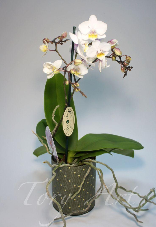 Фаленопсис мини белый   Цветы в горшках, Комнатные цветы ...