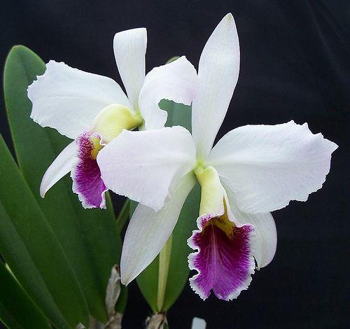 Norsk- orkidé  Latinsk- orchidanceae