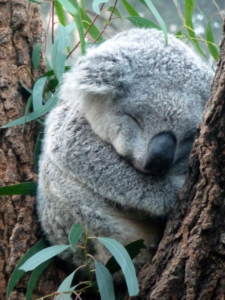 Sleeping koala things that make me happy pinterest for Miroir brise conjurer sort