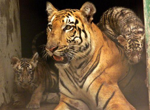 Hombre pasea con tigre de Bengala en México...