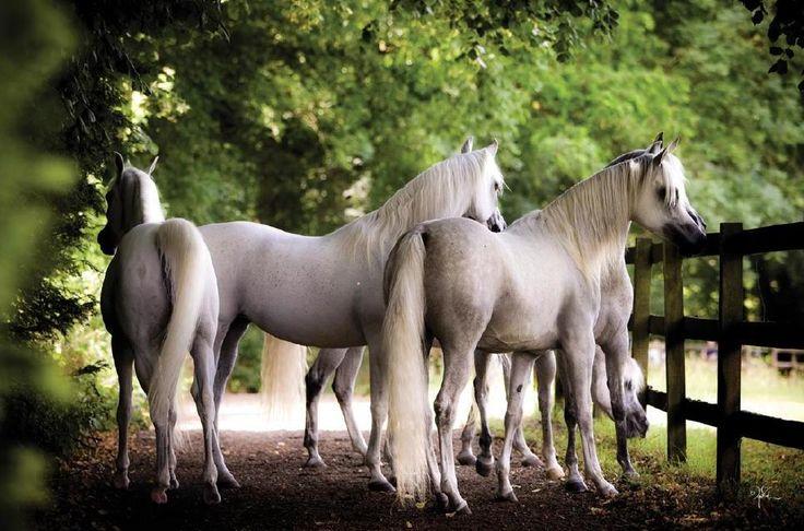Arabian Horse World's Newcomers Guide by Arabian Horse World