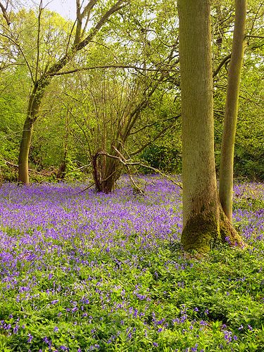 Bluebells (England) by Pete Biggs