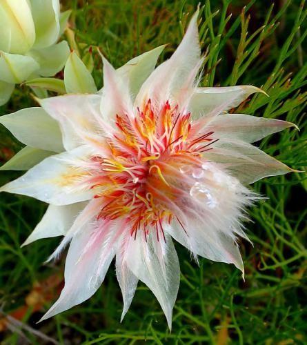Serruria floribundus