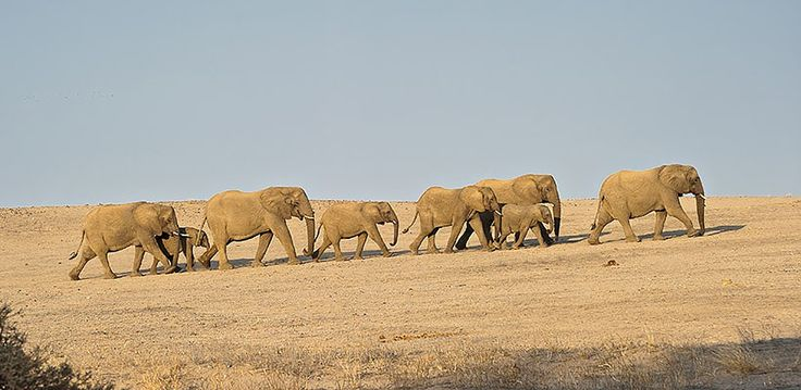 Namibia – Explore Sossusvlei, Etosha, Damaraland, Skeleton Coast | Wilderness Safaris herd of elephant make their way across the dry terrain