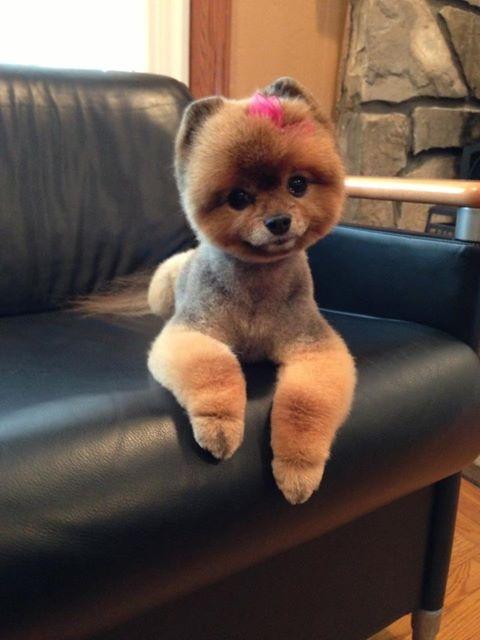 Pomeranian With A Short Teddy Bear Cut Emmie The