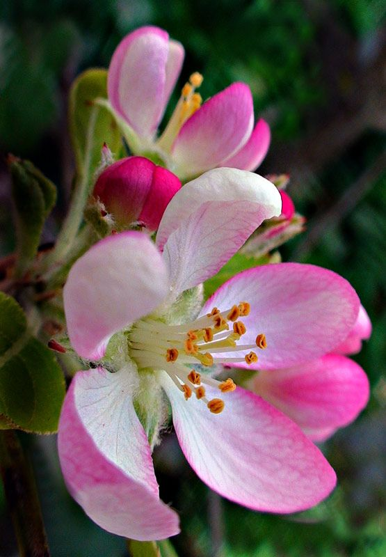 Apple blossoms!! Photographer Ipeson Korah-- with 2 bumble bees and a lady bug. Would love to have it done by wonderland tattoo pdx!